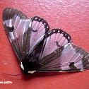 Arctiine Moth