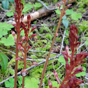 Pacific coralroot
