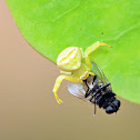 Flower Crab Spider (w/prey)