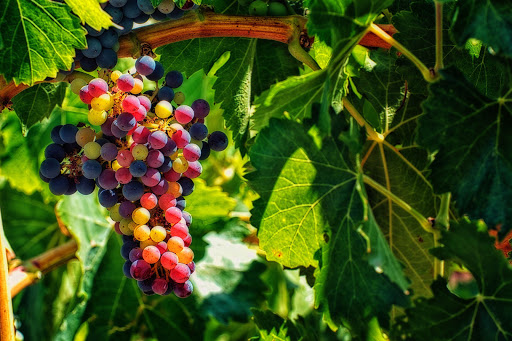 Summer in the Vineyard Sets the Stage for Harvest