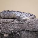 Utila Spiny-tailed Iguana