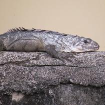 Reptiles of Bay Islands, Honduras