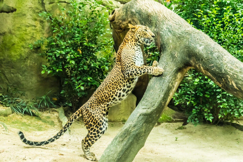 シンガポール動物園 チーター
