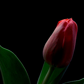 Red Tulip by Heather Campbell - Flowers Single Flower ( macro, red, red flower, single flower, tulip, close up, flower,  )