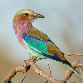lilac breasted roller by Peter Schoeman - Animals Birds ( single, bright, fauna, coracias, feather, perched, colourful, sky, nature, safari, pink, wild, wing, breasted, lilac, lilac-breasted roller, lilacbreasted, caudatus, magnificent, fly, outdoors, branch, natural, african, colorful, one, wildlife, beauty, caudata, roller, southern, kruger, africa, animal, park, purple, avian, green, beautiful, plumage, feathers, bird, wilderness, lilac-breasted, blue, color, outdoor, background, beak, south )