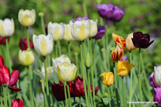 Photo: Tulips at a potential site