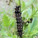 Yellow-winged Pareuchaetes (caterpillar)