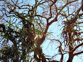 Photo: Pitaya Rosa  - Crescendo em tronco de árvore, muito produtiva.