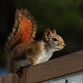 Red Squirrel on Screen by Jeff Galbraith - Animals Other Mammals ( furry, cute, rodent, mammal, squirrel )