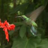 Nimble bird hummingbird