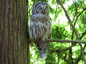 Photo: A Sleepy Barred Owl