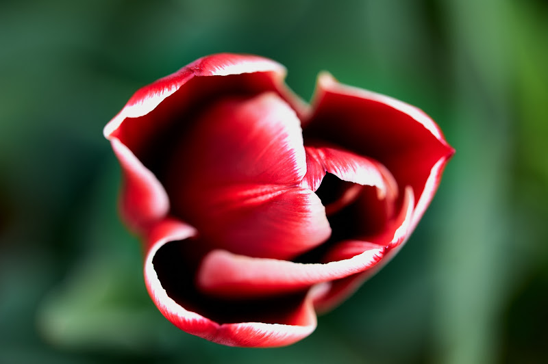 Red tulip di Tita_86
