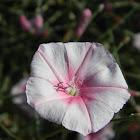 Splendid bindweed (Κονβόλβουλος ο δορύκνιος)