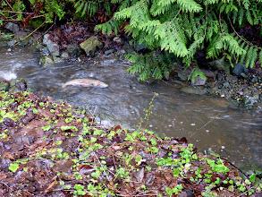 Photo: Male Steelhead following a female upstream in Oswald Creek.