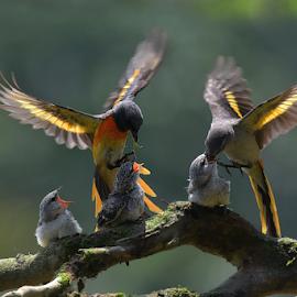 Mantenan Birds (Pericrocotus cinnamomeus) by Ajar Setiadi - Animals Birds ( couple, feeding, animal, birds, chick )