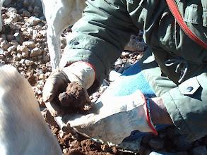 Photo: Finding the Black Truffle (Tuber Melanosporum & Aestivum). More information: http://blacktruffles.blogspot.com/p/what-is-truffle.html