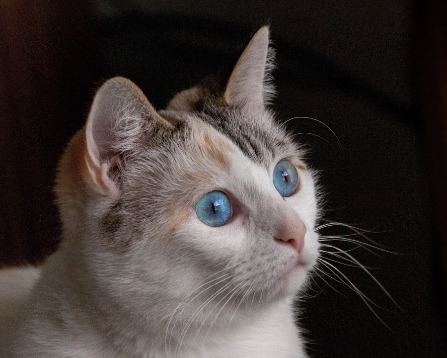 Sugar by Margie Troyer - Animals - Cats Portraits