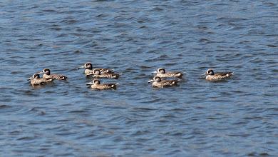 Photo: Pink-eared Ducks - West Belconnen Pond