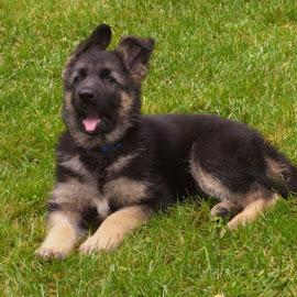 German Shepherd Puppy by Patricia Phillips - Animals - Dogs Puppies ( dogs puppies german shepherds )