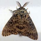 Mango Tussock Moth Male