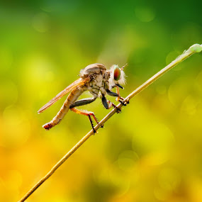 si bungkuk by Muhamad Firman - Animals Insects & Spiders