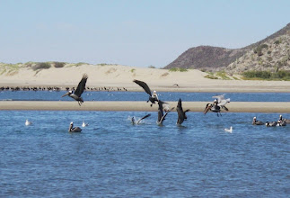 Photo: Shallow water dives can be hazerdous to pelicans.