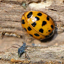 Multicolored Asian Lady Beetle (with Aphid)