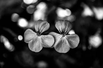 Photo: Twins... #bwphotography  #monochromeworld +Monochrome World #flowerphotography  #nikon +Nik Photography+My Nikon Life