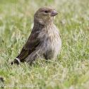 Greenfinch; Verderon