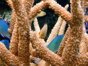 Photo: Oxymonacanthus longirostris (Orangespotted Filefish), Naigani Island, Fiji