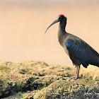 Ibis  -  Red-naped Ibis