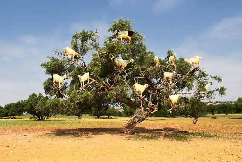L'albero delle capre di BASTET-Clara