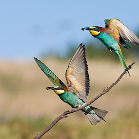 European Bee-eaters- double take off by Hennie Cilliers - Animals Birds ( animals in motion, animal, motion, pwc76 )