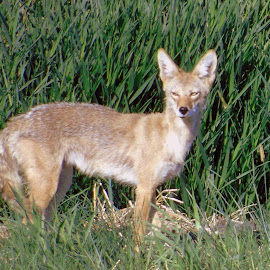 Coyote Boy by Cynthia Dodd - Novices Only Wildlife ( coyote, wild, nature, beautiful, wildlife, smart, animal )
