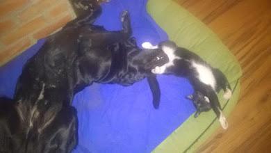 Photo: Tak sie miewa jeden z wy adoptowanych od nas kotów. Chcemy więcej takich adopcji.  Lucek...tak nazywa się nasz kotek,którego adoptowaliśmy w schronisku w Pasłęku.Jak widać z naszym pieskiem tworzą świetną parę przyjaciół. Wnoszą do naszego domu wiele radości i zabawy, skradli nasze serca.