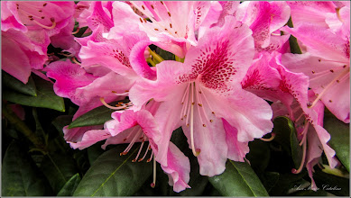 Photo: Azalee (Rhododendron)  - Turda, Piata Centrala Agroalimentara - 2019.04.06