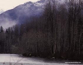 Photo: Bald Eagles in the trees, Skagit River, Washington