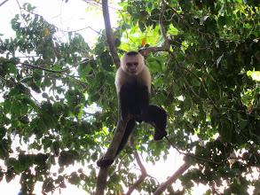 Photo: White-faced capuchin monkey