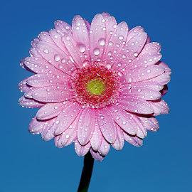 Gerbora n00107 by Gérard CHATENET - Flowers Single Flower