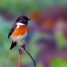 Stonechat by Louis Groenewald - Animals Birds