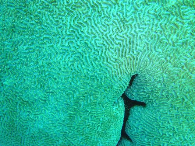 Photo: Corail cerveau en Nouvelle-Calédonie