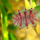 Spider Caterpillar