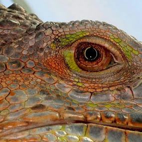 Dragon by René Wright - Animals Amphibians ( scary, colourful, dragon, eye,  )