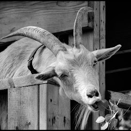 Goat by Dave Lipchen - Black & White Animals ( goat )