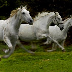 Flow  of spirit by Milan Malovrh - Animals Horses ( lipicanci )