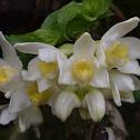 Flor de Cera (Mexico) - Wax Orchid