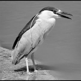 Black-capped Night Heron by Dave Lipchen - Black & White Animals ( black-capped night heron )