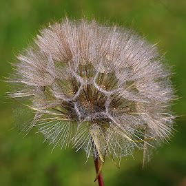 A Square of Beauty by Chrissie Barrow - Nature Up Close Other plants ( plant, wild, green, jack-go-to-bed-at-noon, brown, meadow salsify, seeds, bokeh, cream, seedhead )