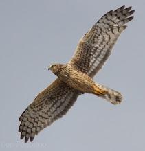 Photo: Northern Harrier El Franco Lee Park
