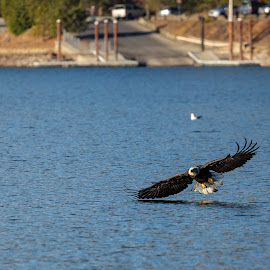 Eagle Skimming the Water by Craig Lybbert - Animals Birds ( skimming, flight, bald, bald eagle, water )